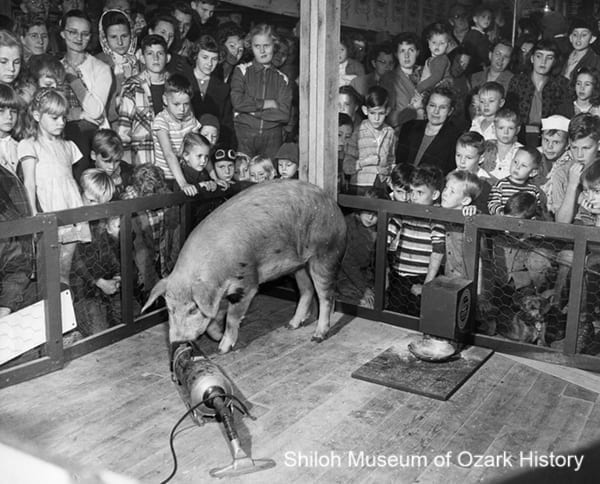 Priscilla the Fastidious Pig, probably at a Quality Feed Store in Springdale, Rogers, or Huntsville, Arkansas, circa 1950.