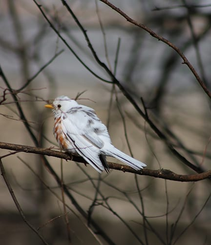 Leucistic robin at the Shiloh Museum