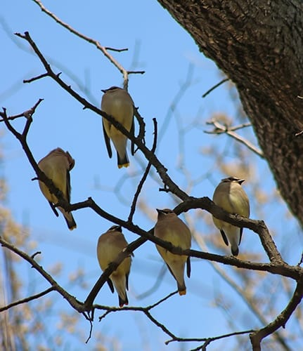 Cedar waxwings at Shiloh Museum.