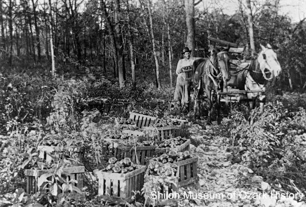 Tomato harvest, Oak Grove, 1910s.