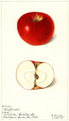 Artist Bertha Heiges' depiction of a Brightwater apple from Logan, Utah, 1900.