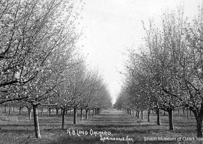 Apple trees in bloom at the Napoleon B. Long orchard, southeast of Springdale, 1900s.