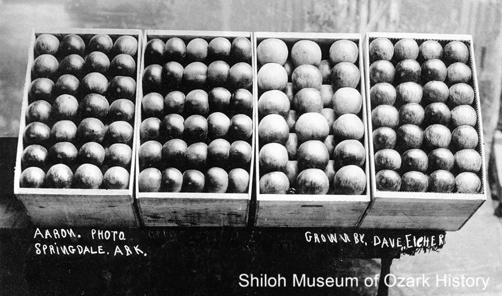 Apples grown by Dave Eicher, Springdale, 1900s-1910s.