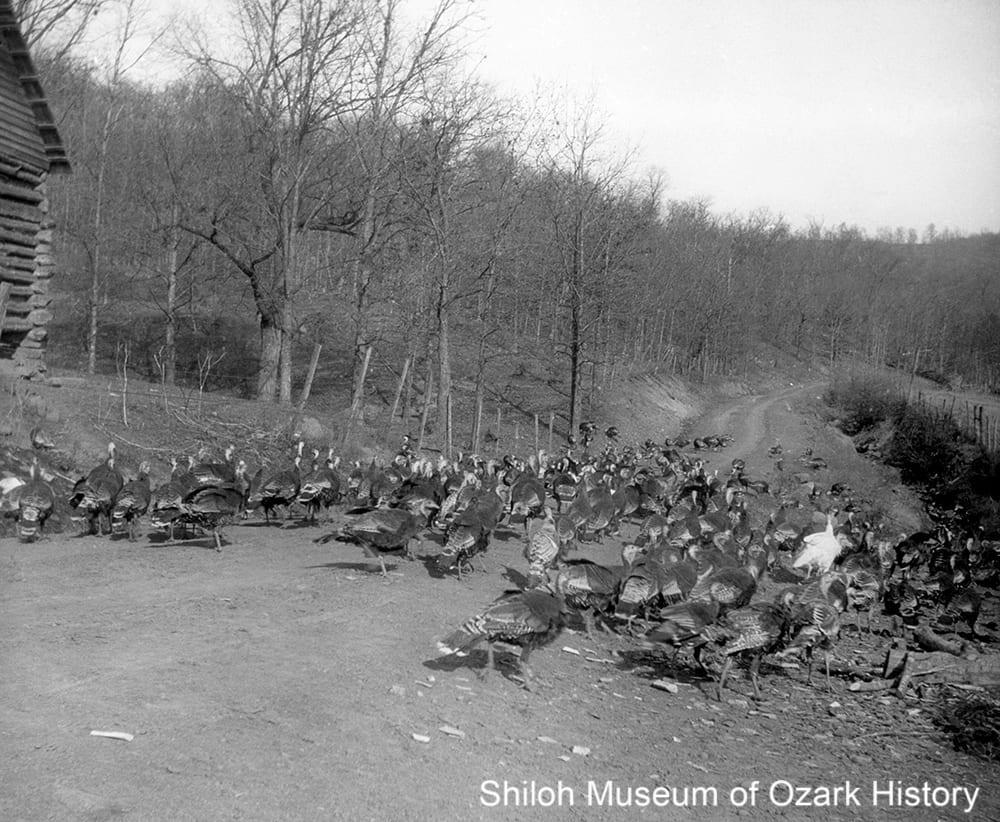 Turkey drive near Kingston, early-mid 1920s.