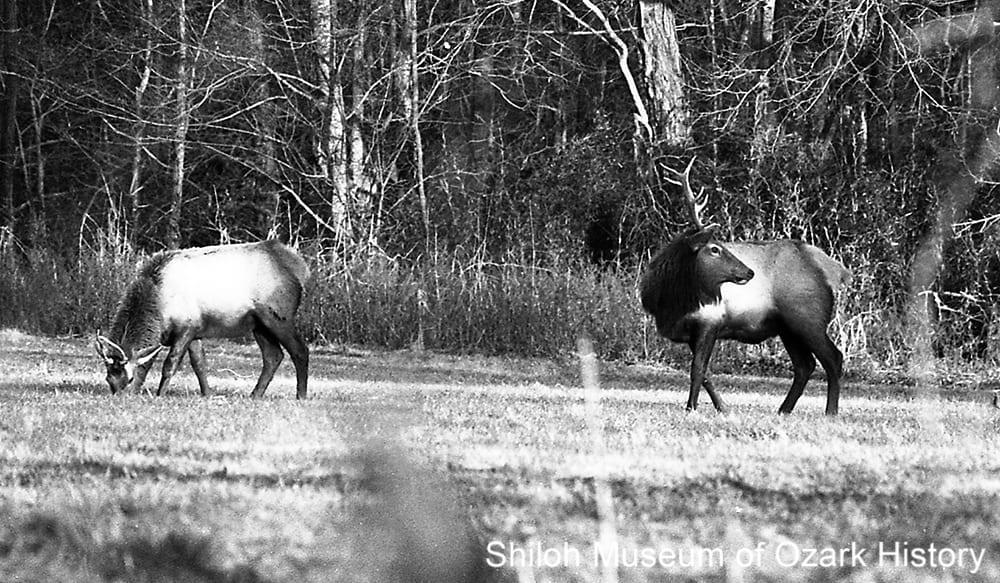 Elk, Boxley Valley, Newton County, Arkansas,January 24, 1993.