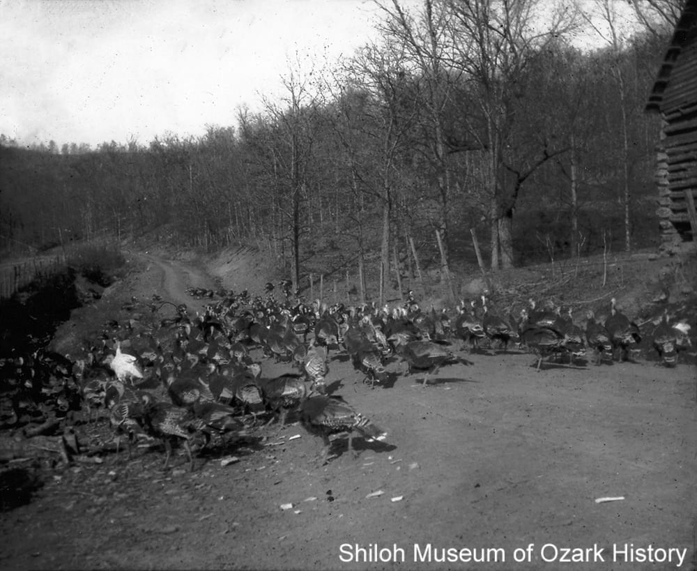 Driving turkeys to market near Kingston, Arkansas, early 1900s