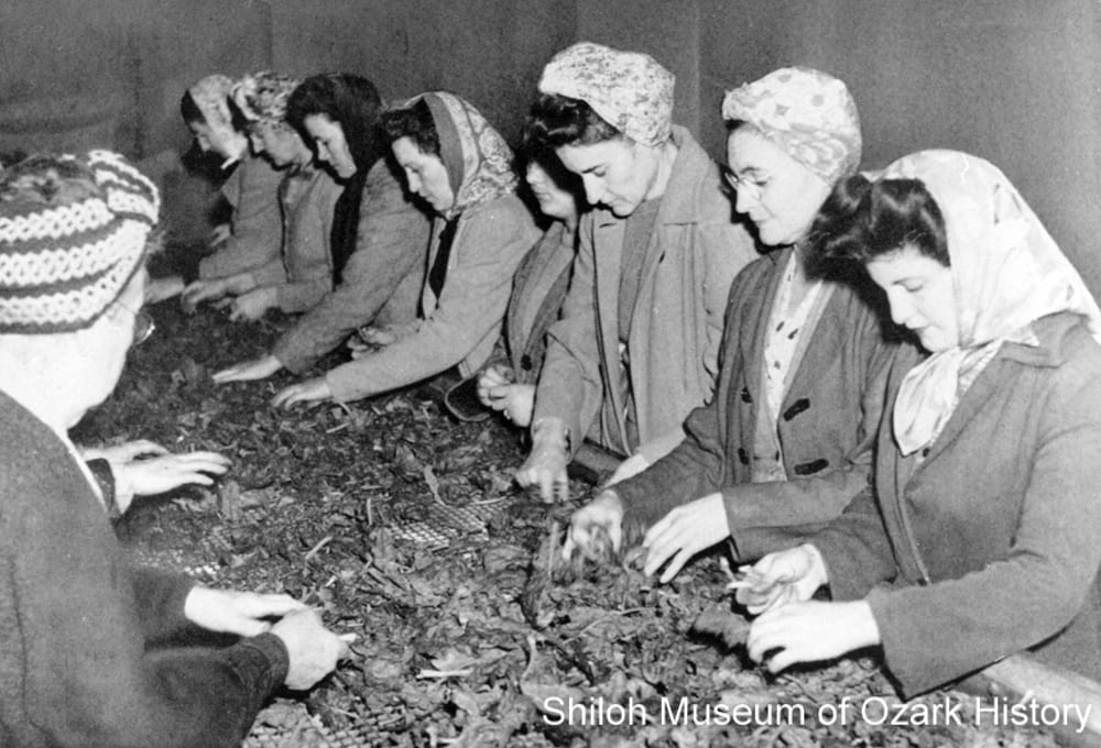 Workers picking and sorting spinach prior to its washing, Steele Canning Company, Springdale, Arkansas, circa 1948.