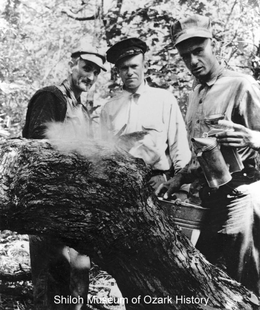 Using smoke to calm bees at a bee tree, Madison County, Arkansas, circa 1939.