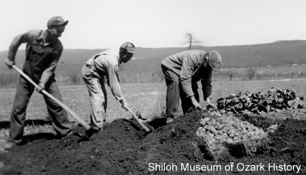Uncovering seed potatoes for spring planting, Pettigrew (Madison County, Arkansas), 1940.