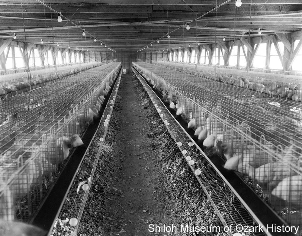 Fox Deluxe cage farm, Rogers, Arkansas, January 1956.
