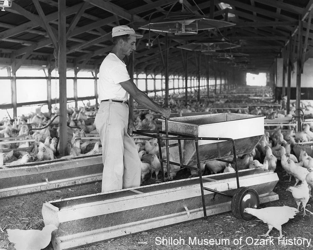 Eulas Shepherd drops feed into a trough, Lowell, Arkansas,1960s.