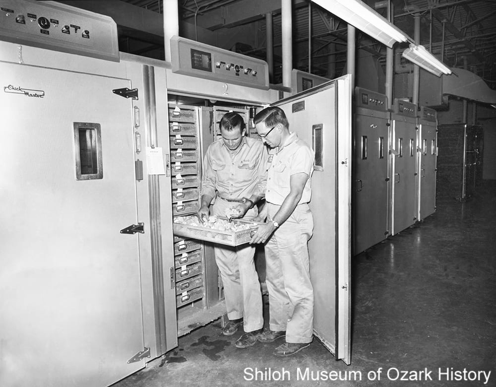 Inspecting eggs housed in an incubator at Tyson's Feed & Hatchery, Springdale, June 1961.