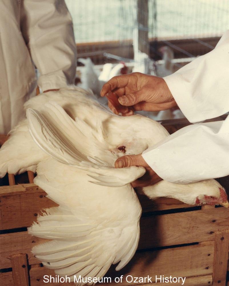 Taking a blood sample to test for disease, Springdale, Arkansas, 1960s.